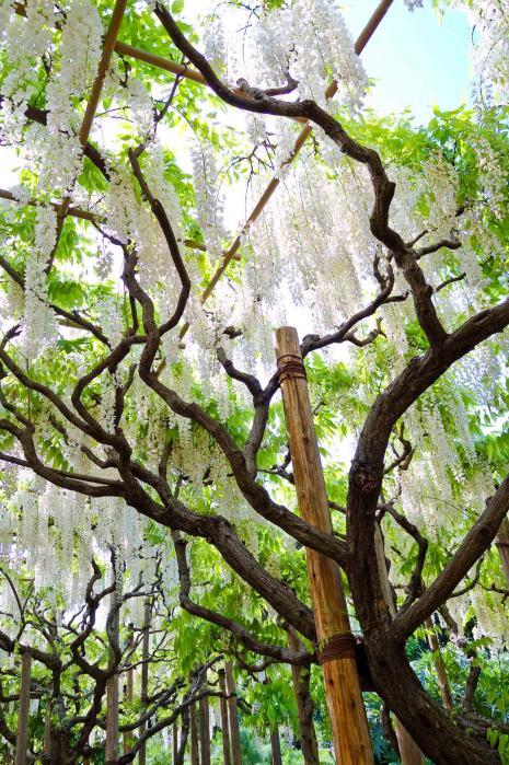あしかがフラワーパークの白藤の木と花