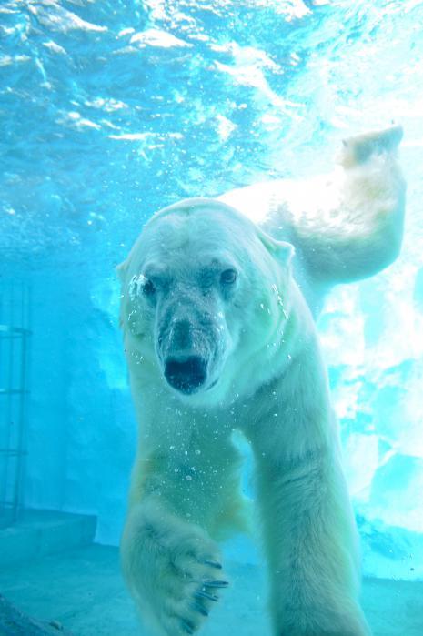 水の中を泳ぐシロクマ5