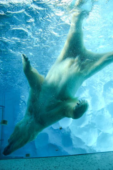 水の中を泳ぐシロクマ1