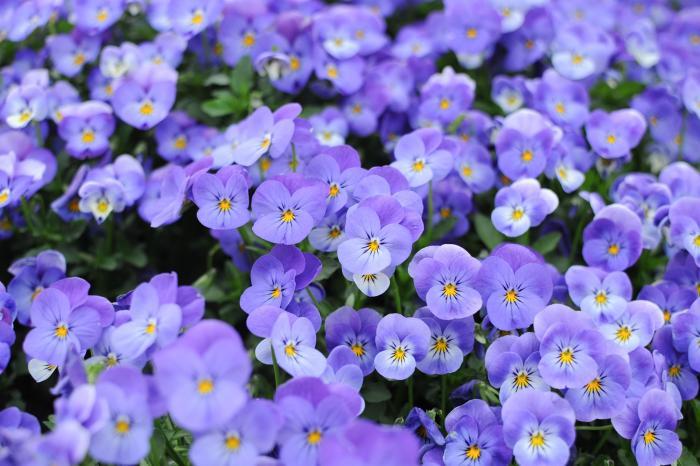 このビオラは水色と紫の間の色かな
