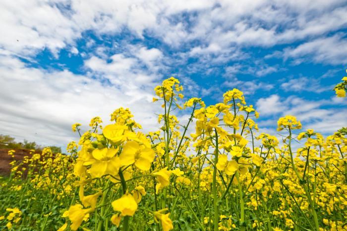春の訪れを感じる菜の花