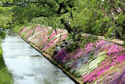渋田川のシバサクラ